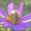 コスモスの花を独り占め@ガーデニング