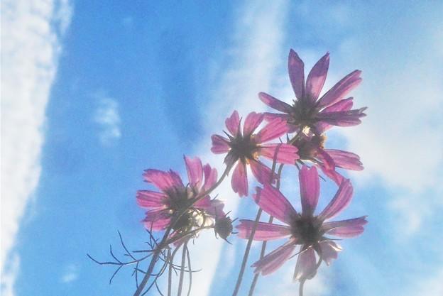 見上げると 秋の空に秋桜(コスモス)の花