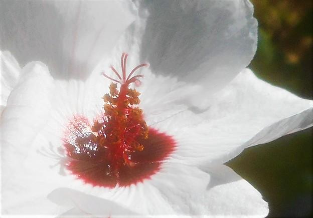 ヤノネボンテンカの白い花