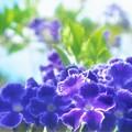 Photos: デュランタの青い花@爽秋の千光寺山