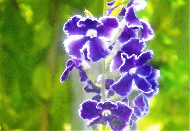 デュランタの青い花@秋の千光寺山