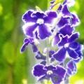 Photos: デュランタの青い花@秋の千光寺山