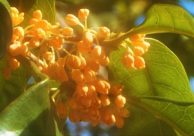 秋の風に乗って@金木犀(キンモクセイ)の甘い香り