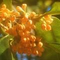 Photos: 秋の風に乗って@金木犀(キンモクセイ)の甘い香り