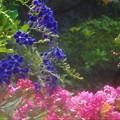赤い花・青い花@デュランタとサルスベリ@千光寺山