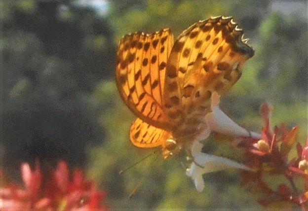 アベリアの花に ツマグロヒョウモン(♂)@秋の新高山