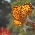 Photos: アベリアの花に ツマグロヒョウモン(♂)@秋の新高山