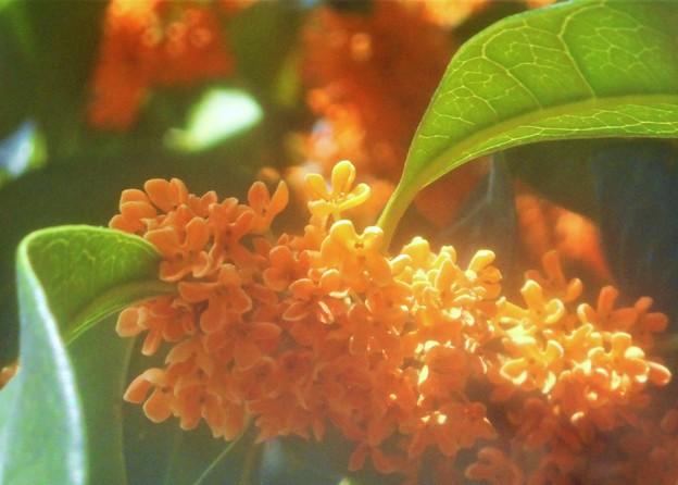甘い香りの金木犀(キンモクセイ)の季節@備後地方