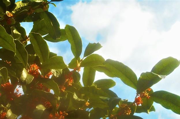 金木犀(キンモクセイ)の甘い香りと青い空