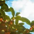 Photos: 金木犀(キンモクセイ)の甘い香りと青い空