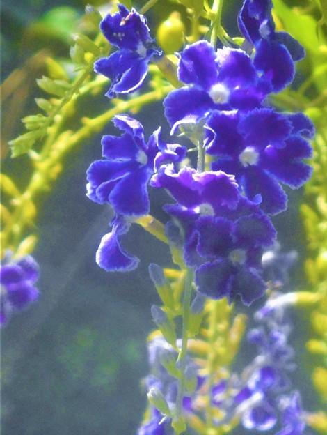 青紫色の デュランタの花@秋の千光寺山