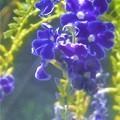 Photos: 青紫色の デュランタの花@秋の千光寺山