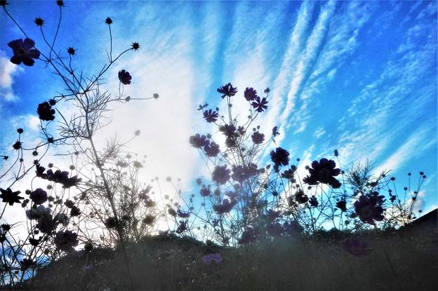 秋の空に咲く@コスモス街道55
