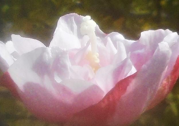 薄紅色に 八重に咲く@秋の木槿(ムクゲ)