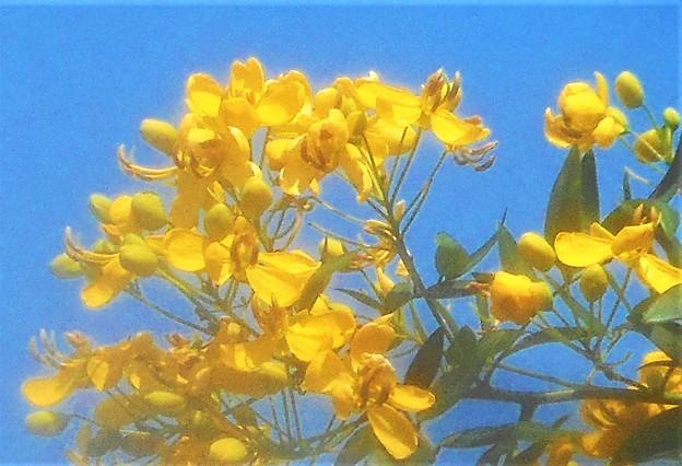 青空に黄色い花@アンデスノオトメ(アンデスの乙女)