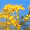 Photos: 青空に黄色い花@アンデスノオトメ(アンデスの乙女)