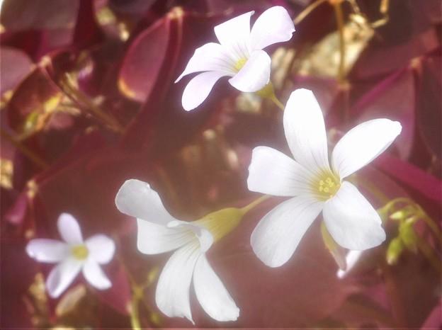 赤紫色の葉を持つ@オキザリス・トリアングラリス@ガーデニング