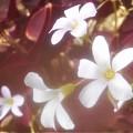 Photos: 赤紫色の葉を持つ@オキザリス・トリアングラリス@ガーデニング