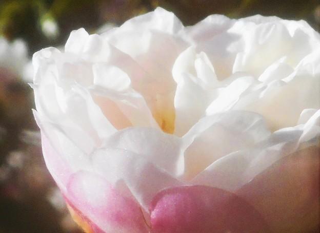 八重咲きのサザンカの花@黒崎水路周辺