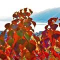 Photos: 紅葉する糸崎の丘@瀬戸内海