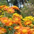 千光寺山の菊の花