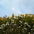 青空に菊の香高く@千光寺山