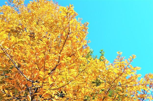 メタセコイアの黄葉