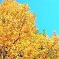 Photos: メタセコイアの黄葉