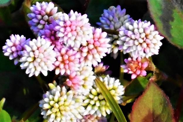 晩秋に咲く ヒメツルソバの花