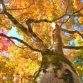 名刹・佛通寺のオオモミジの紅葉