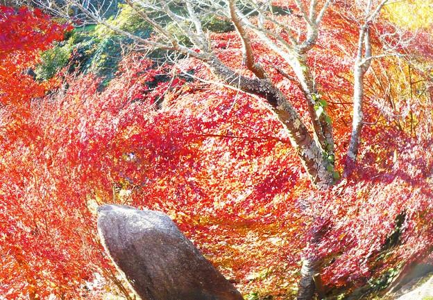 枯れ葉を落とした桜と紅葉(魚眼モード)@御調八幡宮