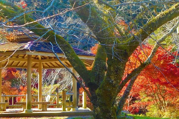 桜の古木と紅葉@御調八幡宮