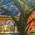 Photos: 桜の古木と紅葉@御調八幡宮