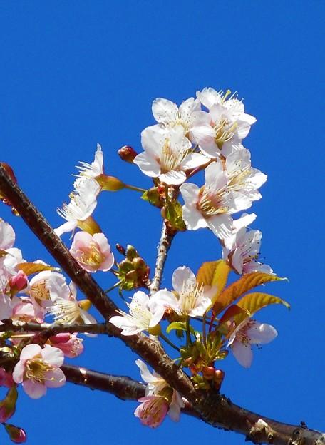 冬の桜@黒崎川の土手に咲く