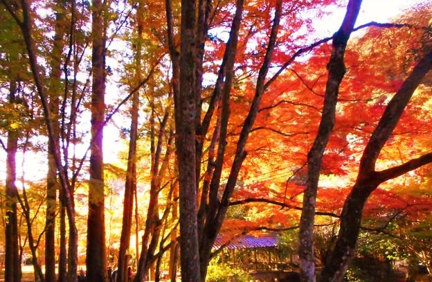 飛猿橋と杉木立の紅葉@古刹佛通寺