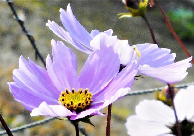 冬至に咲く秋桜(コスモス)