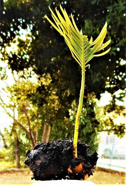 冬至のソテツの発芽@水たまりの腐葉土の中から奇跡の生還