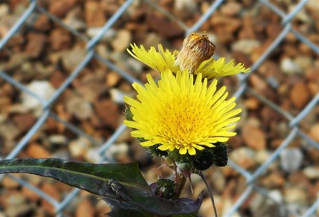昆虫も居る冬のタンポポ@山陽本線線路端