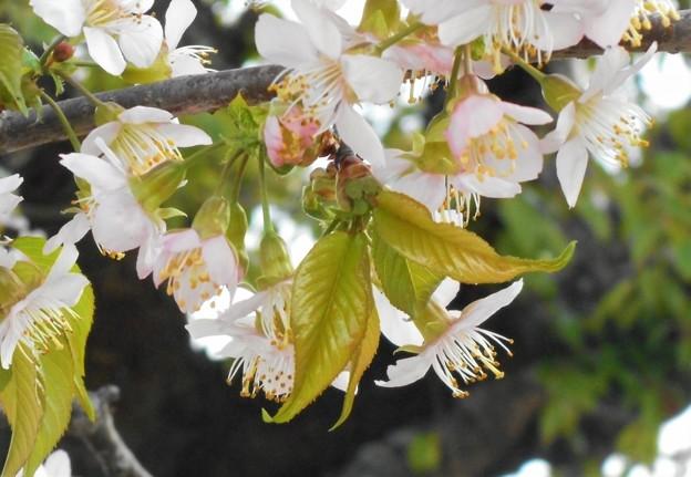 冬の土手に咲く ヒマラヤ桜@黒崎川