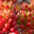 """冬に色づく""""虹の玉""""@ベンケイソウ科の多肉植物@正月四日"""