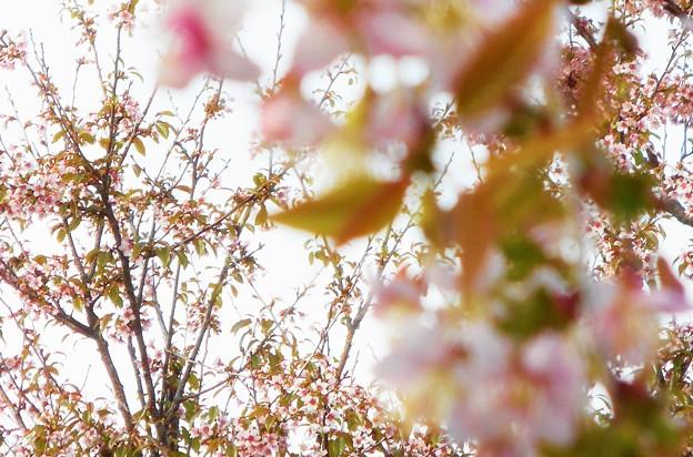 川土手に咲く 冬の桜@黒崎川