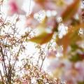 Photos: 川土手に咲く 冬の桜@黒崎川