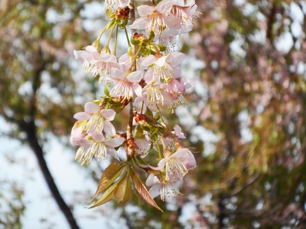 冬に咲く 四季桜@黒崎の川土手