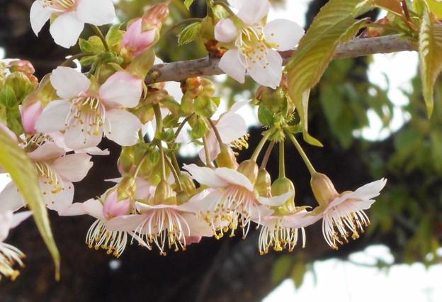 冬に咲く ヒマラヤ桜@黒崎川の土手