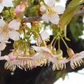 Photos: 冬に咲く ヒマラヤ桜@黒崎川の土手