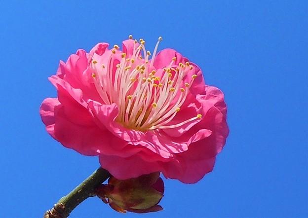 ポカポカ陽気で 八重の寒紅梅 咲きました。