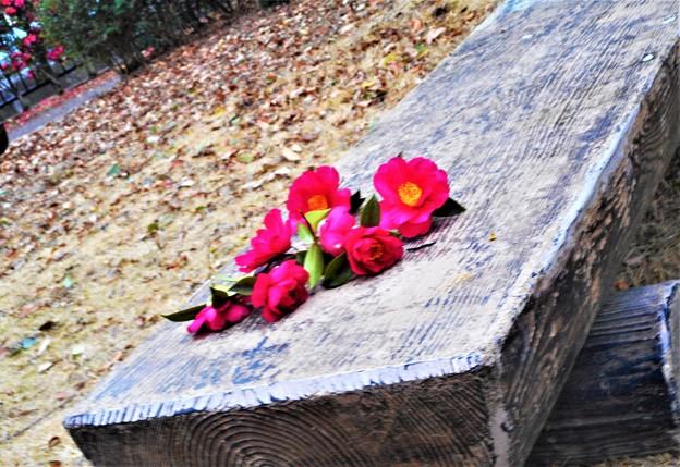 新春の公園に謎の花@紅いサザンカ