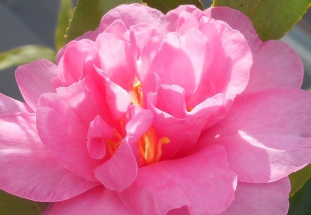 新春の甘味処の庭に咲く@八重のサザンカ@大寒2020.1.20