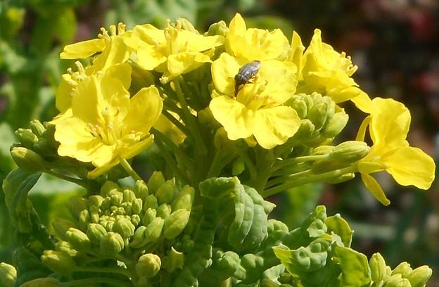 ポカポカ陽気に誘われて@大寒に咲く菜の花
