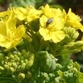 Photos: ポカポカ陽気に誘われて@大寒に咲く菜の花